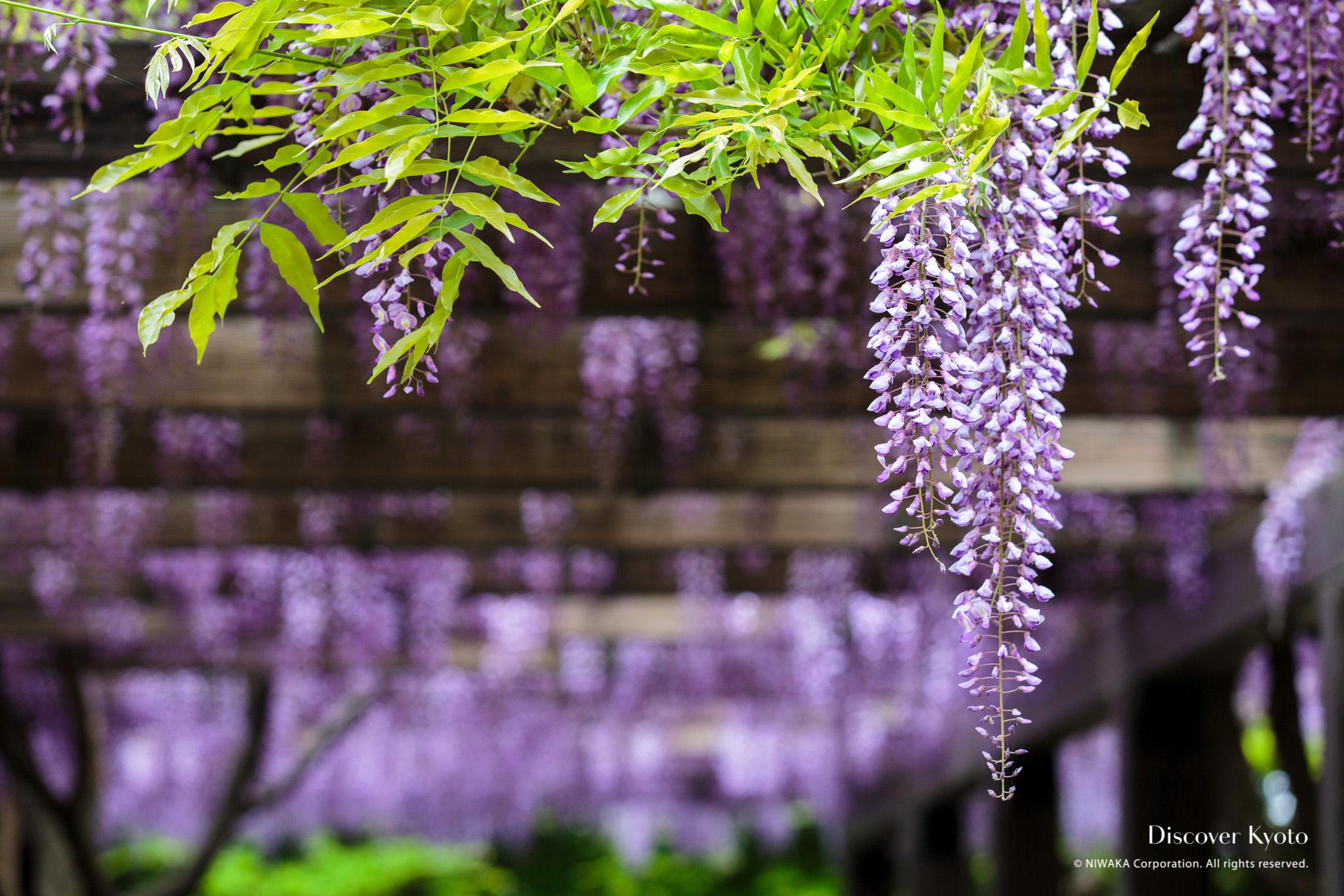 Wisteria Discover Kyoto